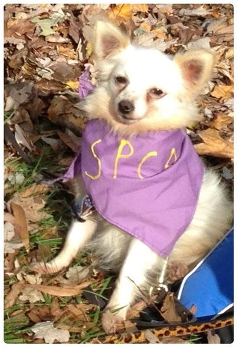 pomeranian rescue northern virginia spca of northern virginia dogs available for adoption