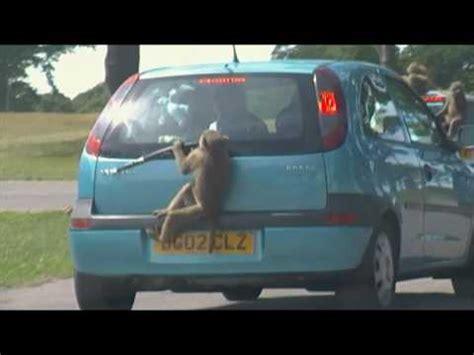 baboons at knowsley safari park youtube
