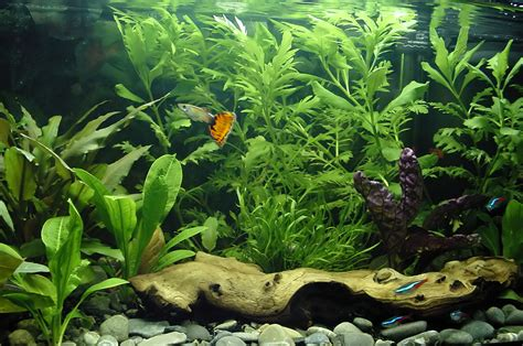 10 best freshwater fish for beginners clubfauna