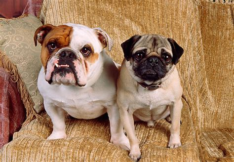 pug and bulldog pug animal stock photos kimballstock