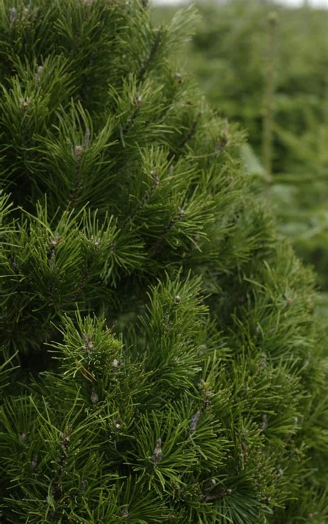 what type of christmas tree lasts the longest 9 types of trees best real types trees