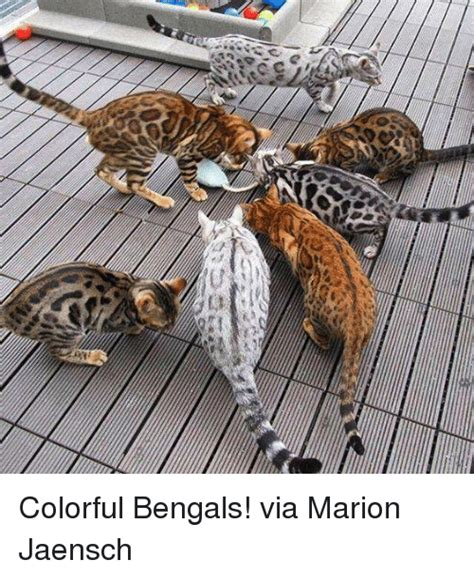 Marion Memes - tcce colorful bengals via marion jaensch meme on sizzle