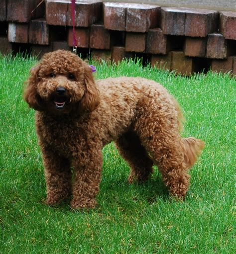 Non Shedding Labradoodle by