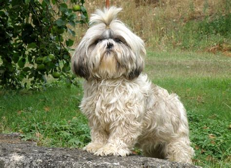 fotos de perros shih tzu miniatura comprar cachorro shih tzu directamente de criadero propio