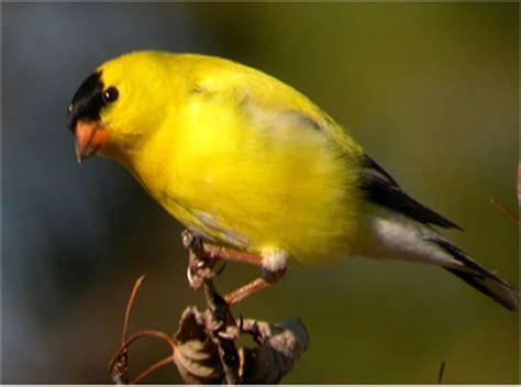 american goldfinch spinus tristis natureworks