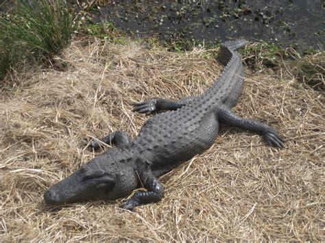 alligators facts habitat diet breeding pictures