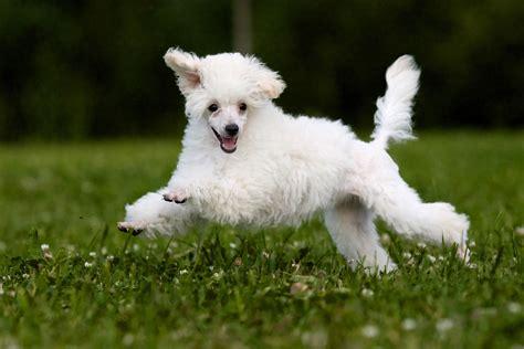 mini poodle info miniature poodle breed information pet365
