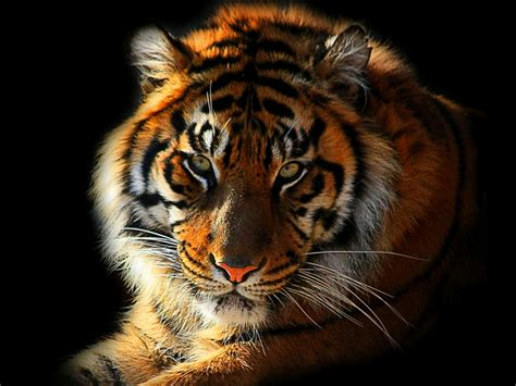 wallpaper laptop harimau 당신이 의 hd 배경 화면 동물 호랑이 이러한 태그를 chainimage