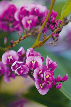 winter bloemen australie hardenbergia known as the happy wanderer quot flowering