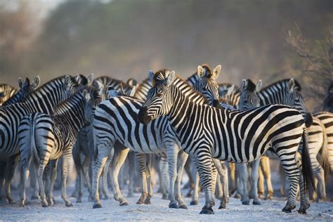 5 Safari Stuff To See by Africa S Top 10 Safari Animals And Where To See Them