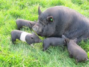 pot belly pigs weymouth dorset pets4homes