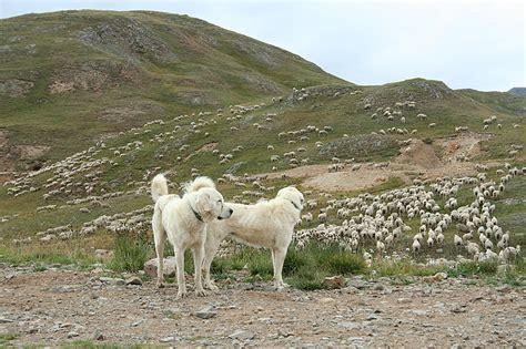 sheep herding dogs mick s miscellaneous meanderings 187 2010 187 september