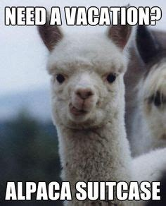 Alpaca Sheep Meme - i laughed too hard at this