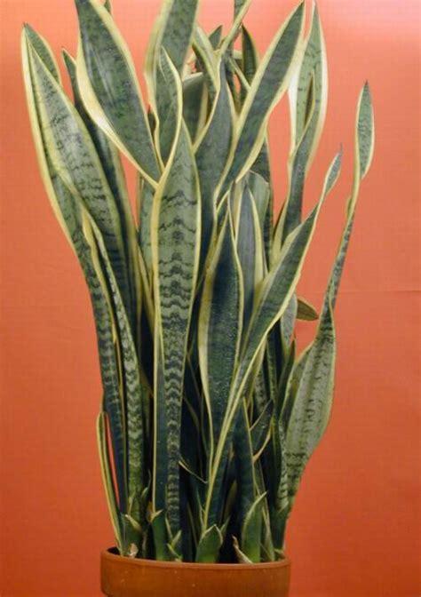 Kaos 3d Snake Uk L low plant in pot