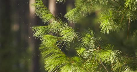 shade tolerant fruit trees shade tolerant vs shade intolerant conifer trees ehow uk