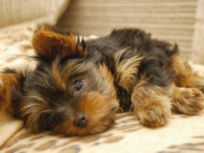 all hypoallergenic dogs 10 hypoallergenic dogs health