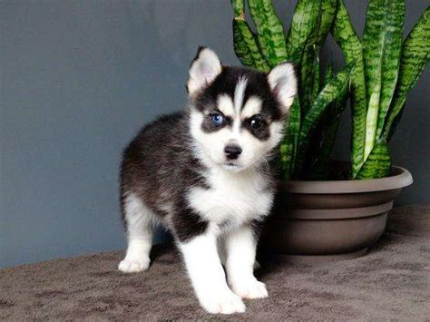 cheap pomsky puppies for sale pomsky puppies for sale in toronto canada pomsky picture breeds picture