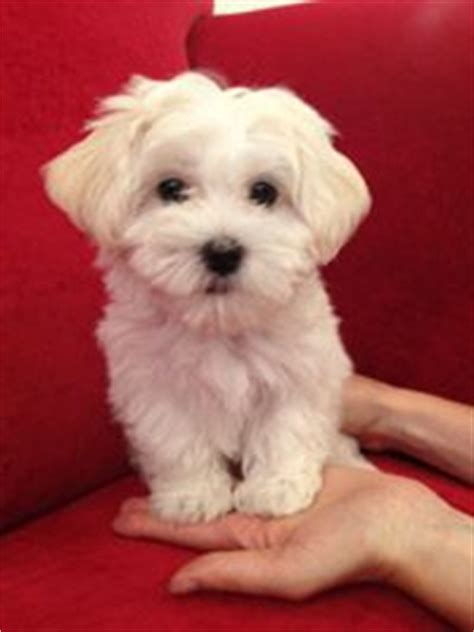 havanese breeders chicago havanese on havanese dogs havanese puppies and small dogs