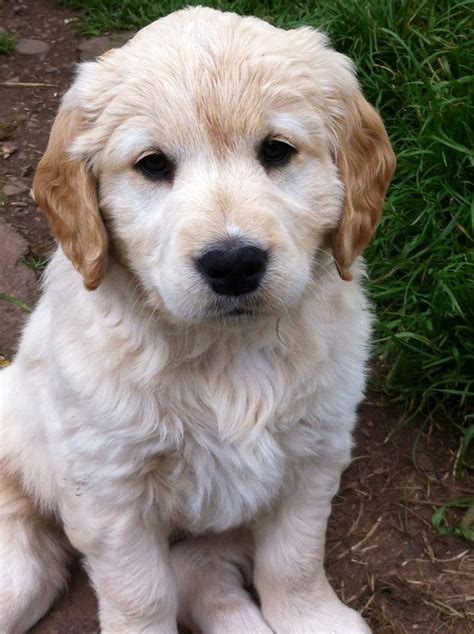 working golden retriever breeders working golden retriever x springer pups thornhill