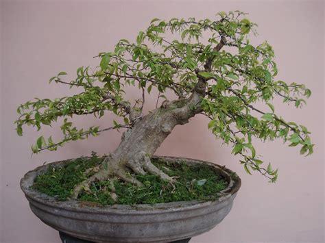 Jual Sekam Bakar Di Jakarta bonsai hoby bonsai anting putri
