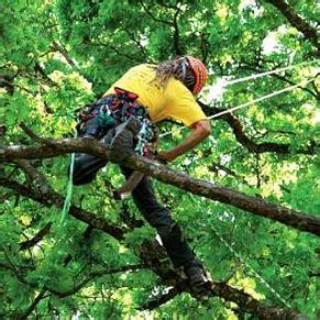 Baum Fällen Preis 2232 by Baumklettern Pflegen Und F 228 Llen Mit Seilklettertechnik