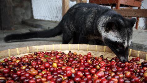 Luwak Coffee top 10 most expensive coffee in the world luwak coffee is