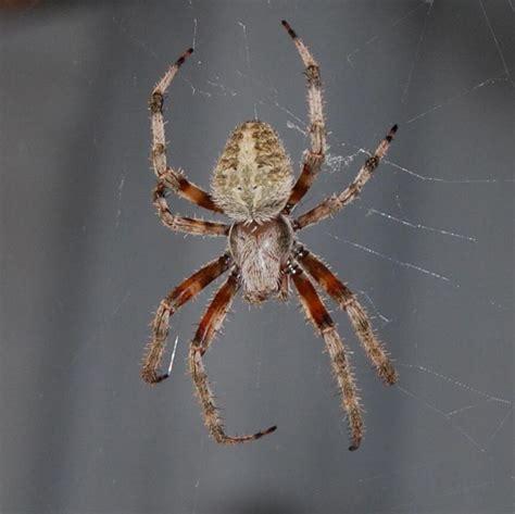 Garden Spider Usa by California Garden Spider Photo