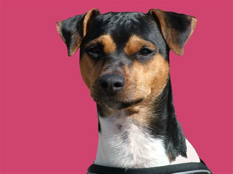 Pink Brazilian Terrier photo and wallpaper. Beautiful Pink ...