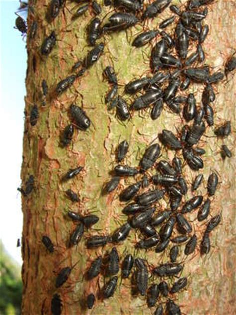 black bugs covering tree in berwickshire uk adopt a bug