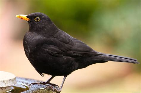 National Bird Of Sweden Common Blackbird 123countries Com Black Bird