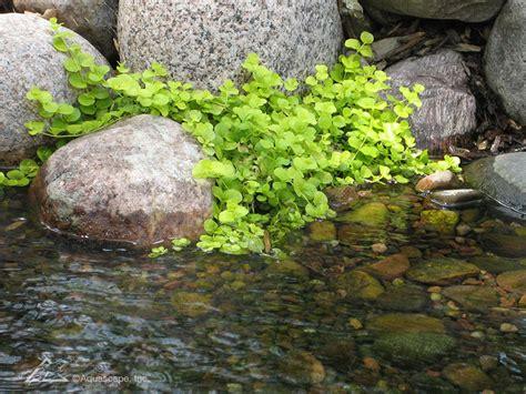 aquascape inc do you know your aquatic plants aquascape inc