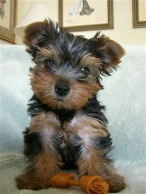 yorkies inc taunton terrier yorkie puppy and on