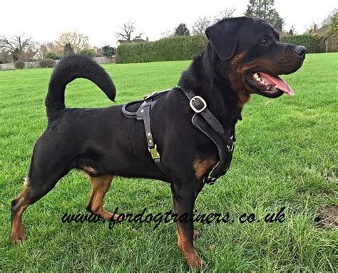 rottweiler uk rottweiler harness uk padded luxury leather design