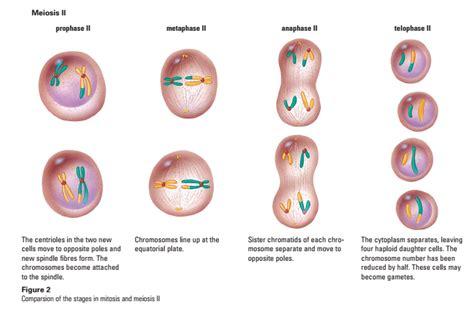 Meiosis Meiosis Stages
