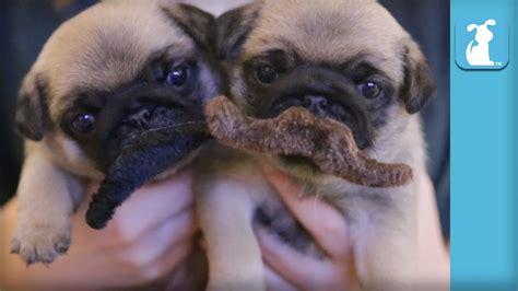 4 week pug puppies 4 week pug puppies grow mustaches puppy pug