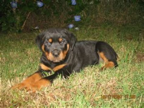 rottweiler puppies arkansas rottweiler puppies in arkansas