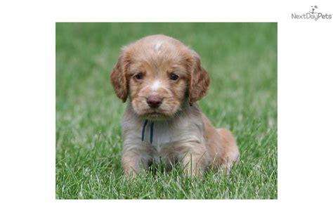 field bred cocker spaniel puppies meet maxx a cocker spaniel puppy for sale for 900 field bred ecs