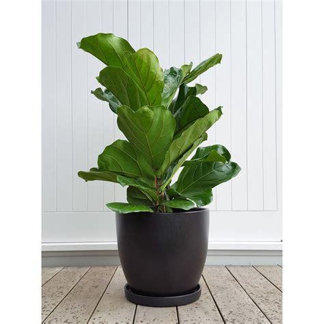 fiddle leaf fig  ceramic plant pot  saucer