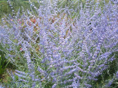 arbusti sempreverdi da fiore perowskia atriplicifolia salvia russa arbusti