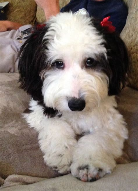 mini sheepadoodle puppies 148 best images about hybrid breeds on berdoodle poodles and