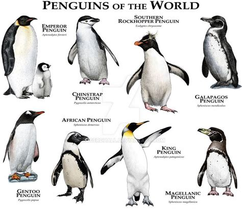 breeds species best 25 species of penguins ideas on types of penguins penguin types and