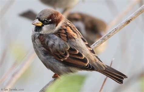 male sparrow gallery