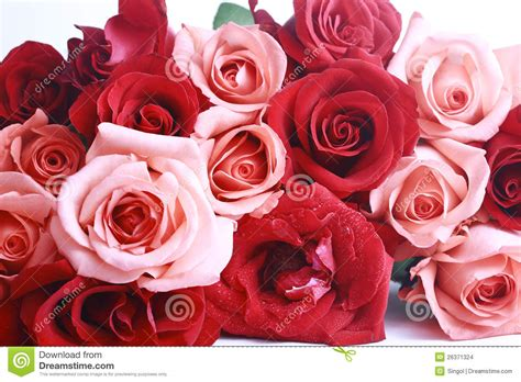red white and pink roses pictures to pin on pinterest red and pink rose stock images image 26371324