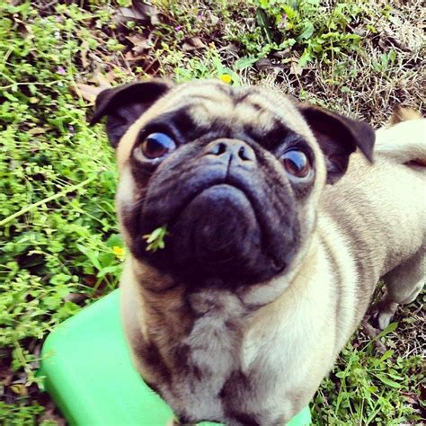 nature of pugs 468 best images about pugalicious on posts pug and the pug