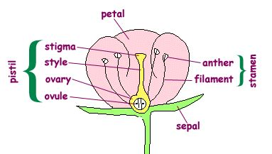 diagram of a labelled flower flower parts parts of the flower