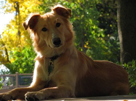 alaskan husky and golden retriever mix i take so many awesome pictures of my best friend i