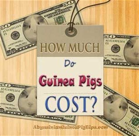 25 best ideas about guinea pig run on pinterest guinea pig hutch cages for rabbits and cages