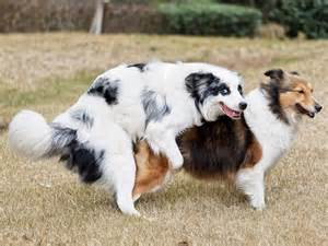 frau decken hunde und ihr paarungsverhalten was passiert beim deckakt