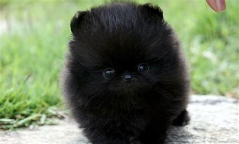 small black pomeranian tiny black teacup pomeranian random things that don t fit i