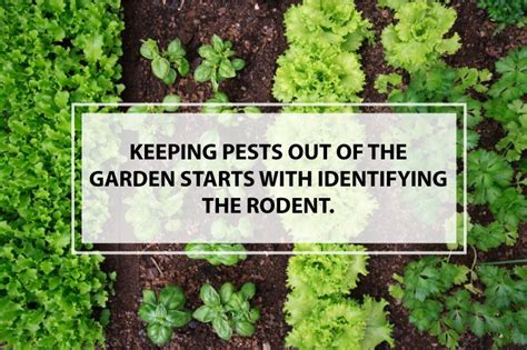 how to keep pests out of garden how to keep rodents out of the garden